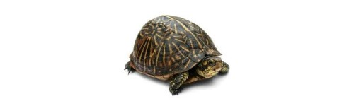 Bruņurupuči